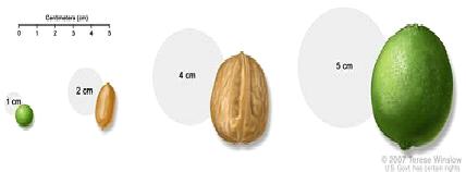 Pea, peanut, walnut, and lime show tumor sizes.